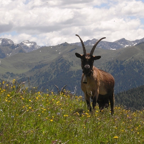 Guided walking in -Dolomites Chamois