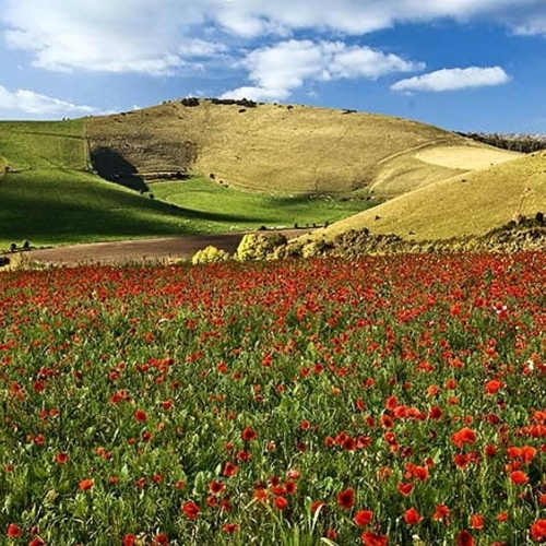 Guided walking in Dorset - poppies in bloom